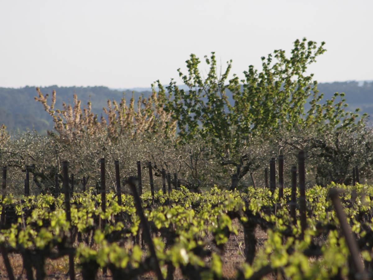 Vignoble et olivettes de Combas