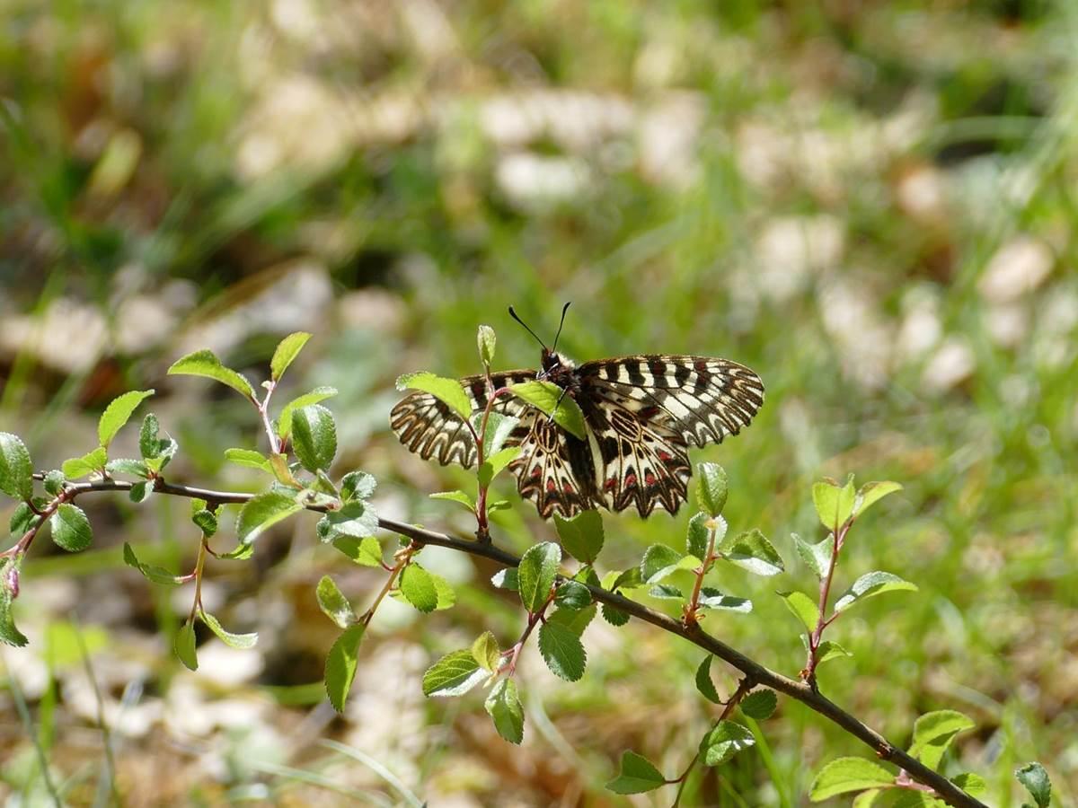 Papillon Proserpine