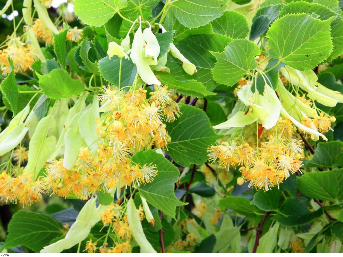 Tilleul en fleurs. Copyright. 4866--HOCQUEL_A_-_VPA-1600px