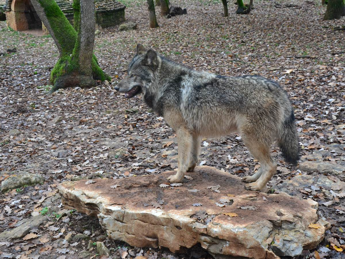 2020-loup-alpha-parc-animalier-gramat