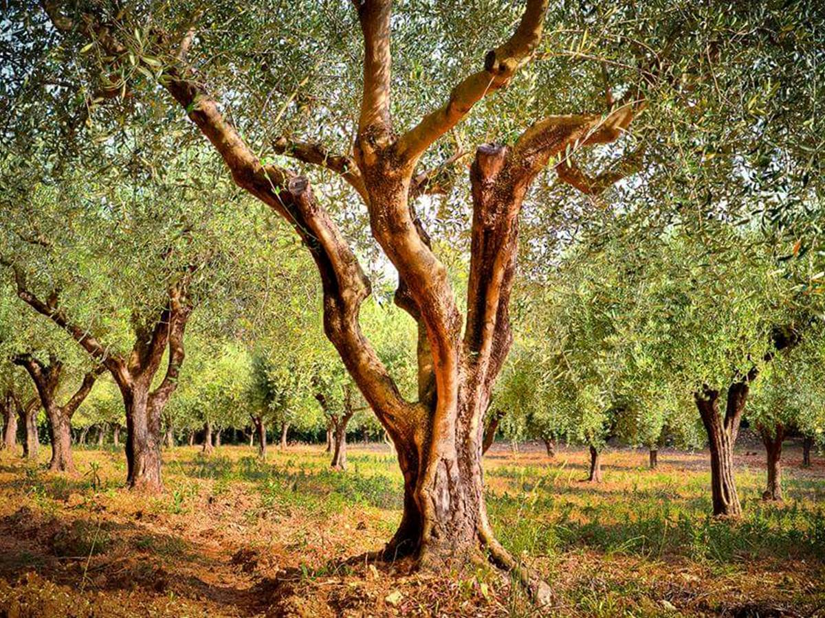 oliveraie flayosc oliviers centenaires campagne tranquilité huile d'olive