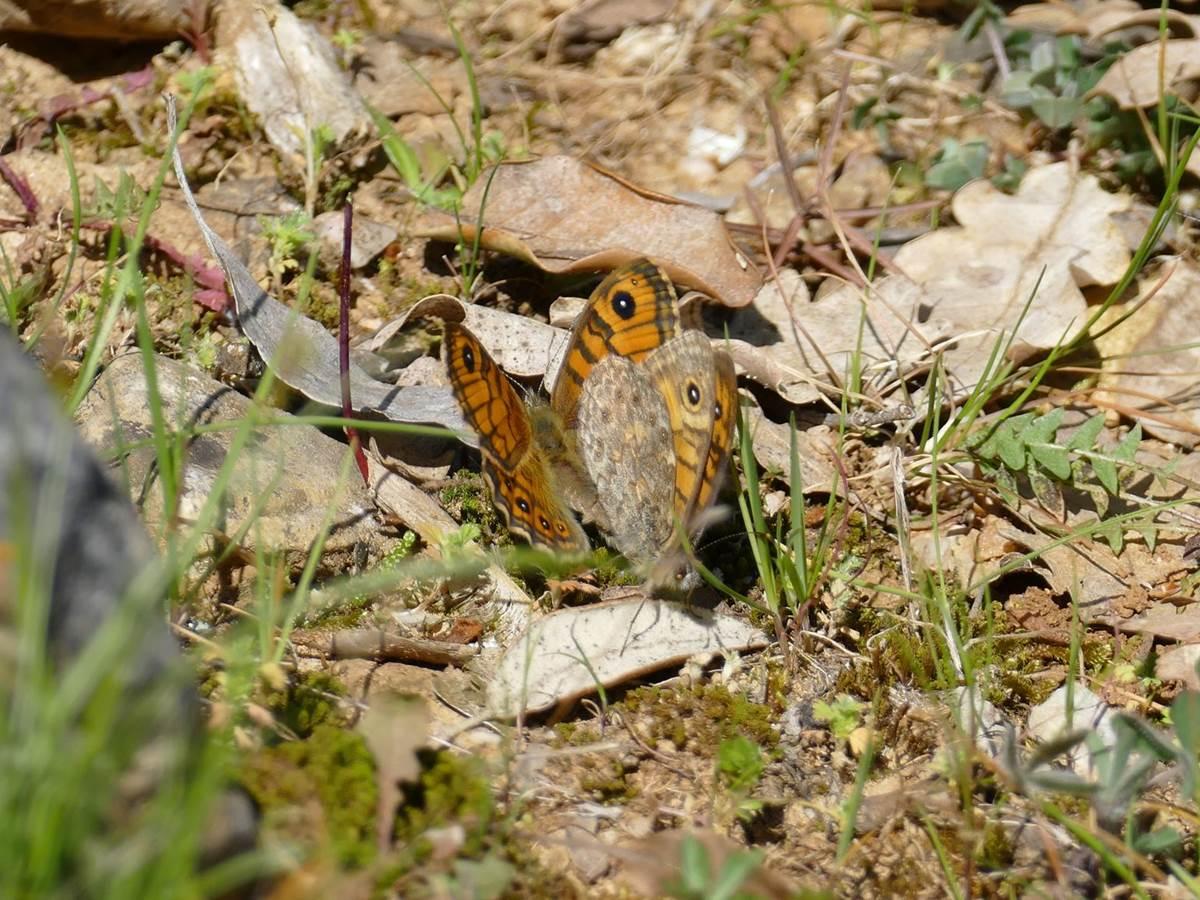 Papillon Le Tircis