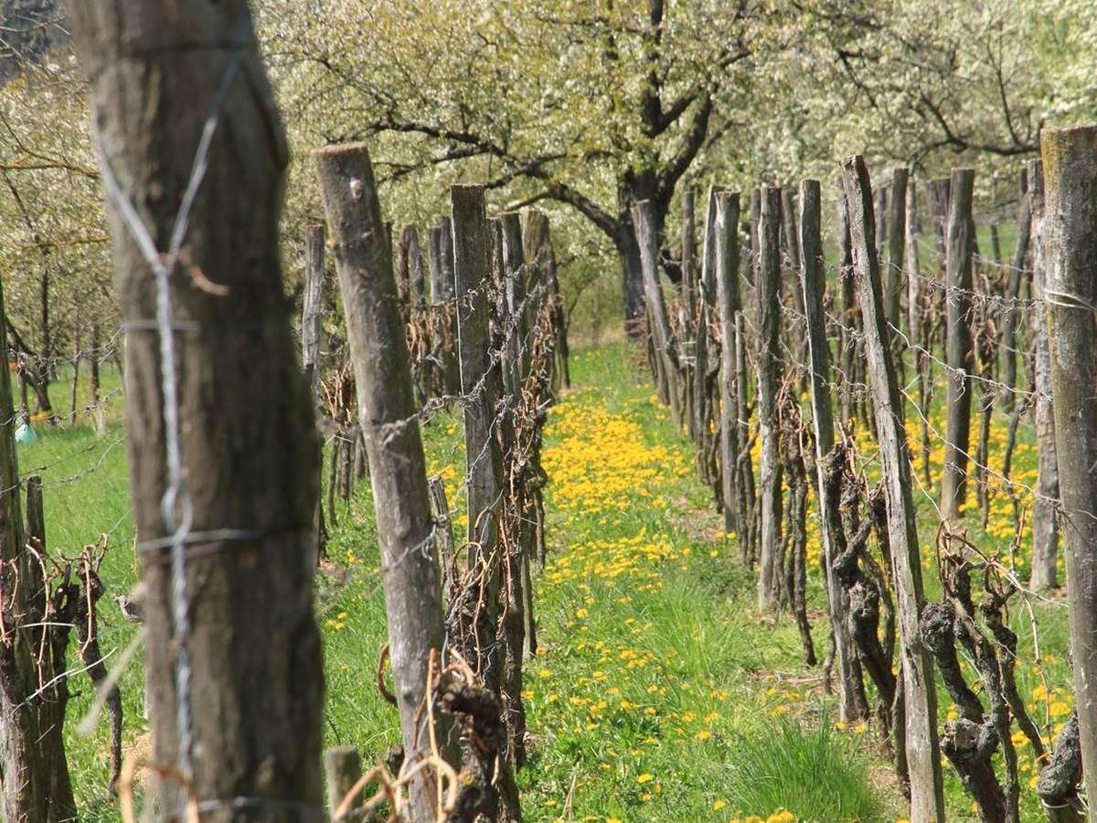 dans les vignes de wintzenheim kochersberg