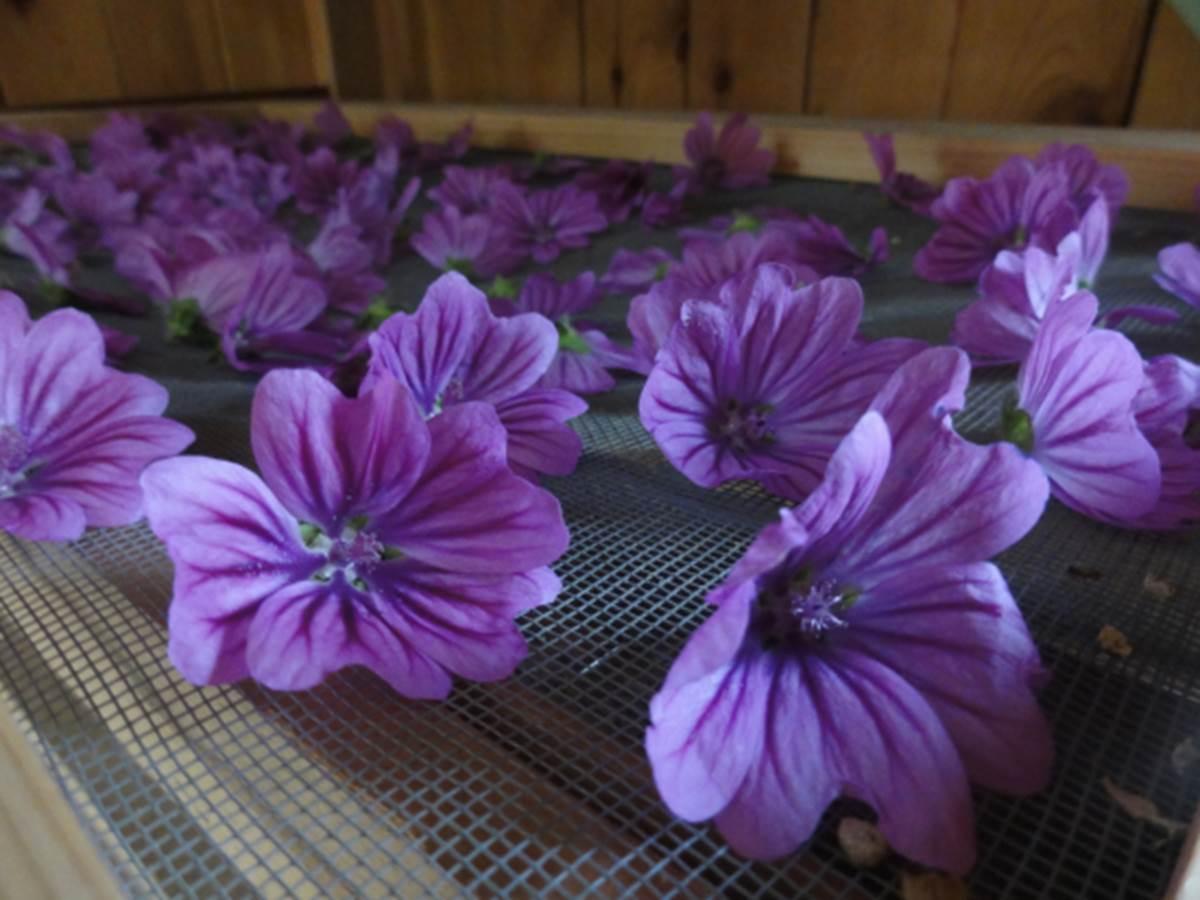 fleurs séchées mauve