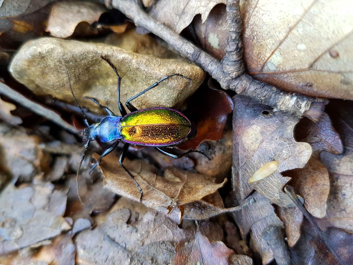 Chrysotribax Hispanus