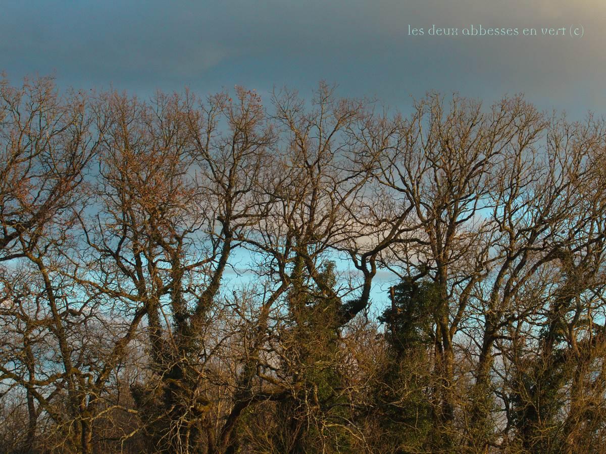 Chênes en hiver