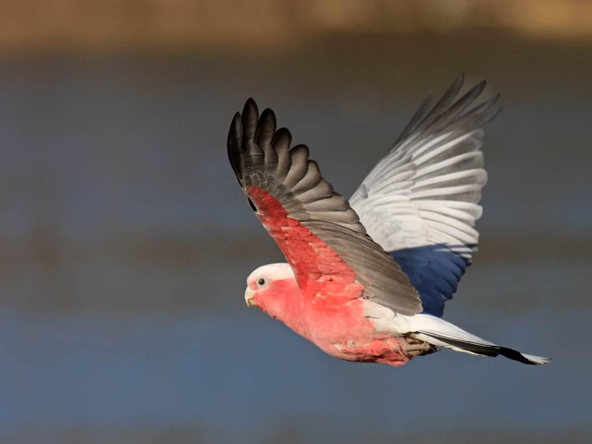 Cacatoes rosalbin du Parc des oiseaux