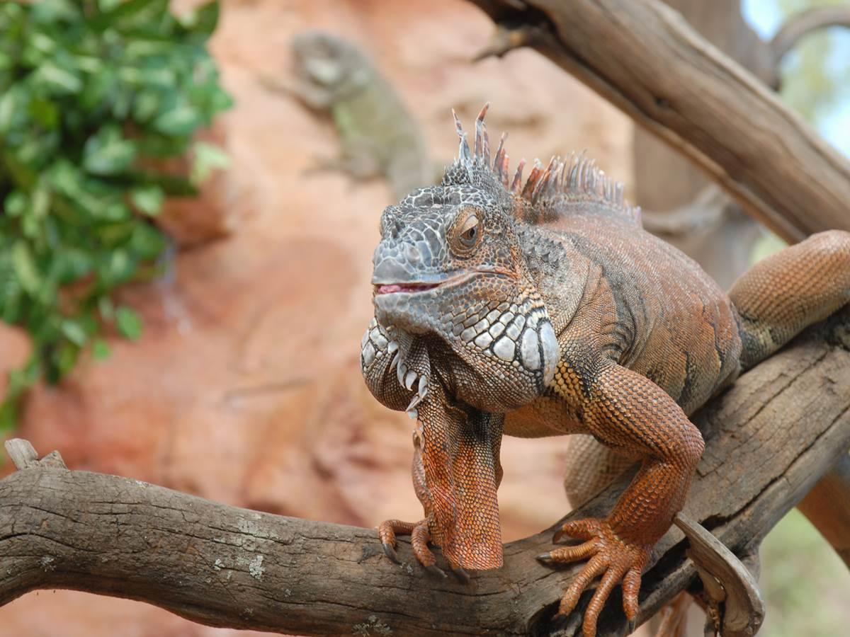 Iguane Rhinocéros
