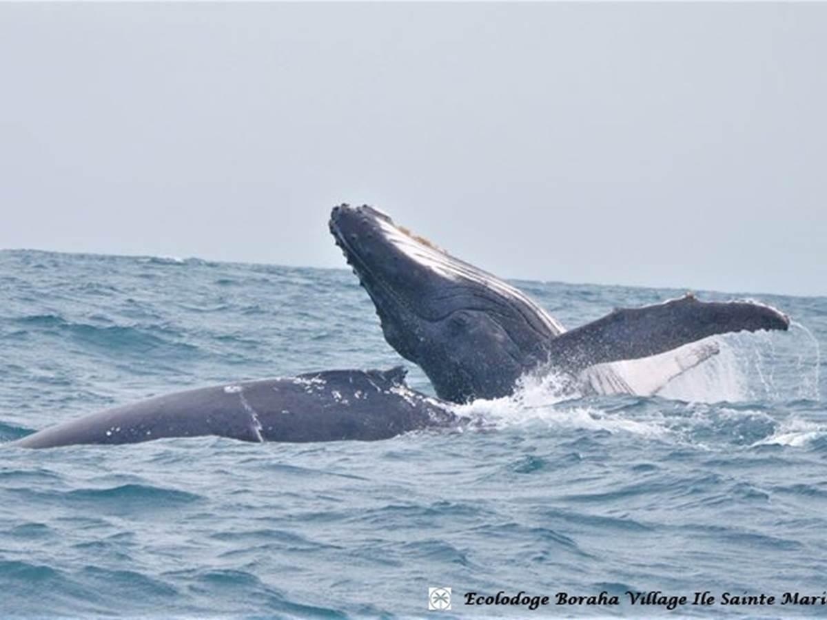 Baleine Boraha VIllage Ile Ste Marie Madagascar 18