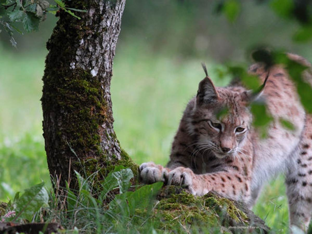 Parc Animalier de Gramat - Lynx
