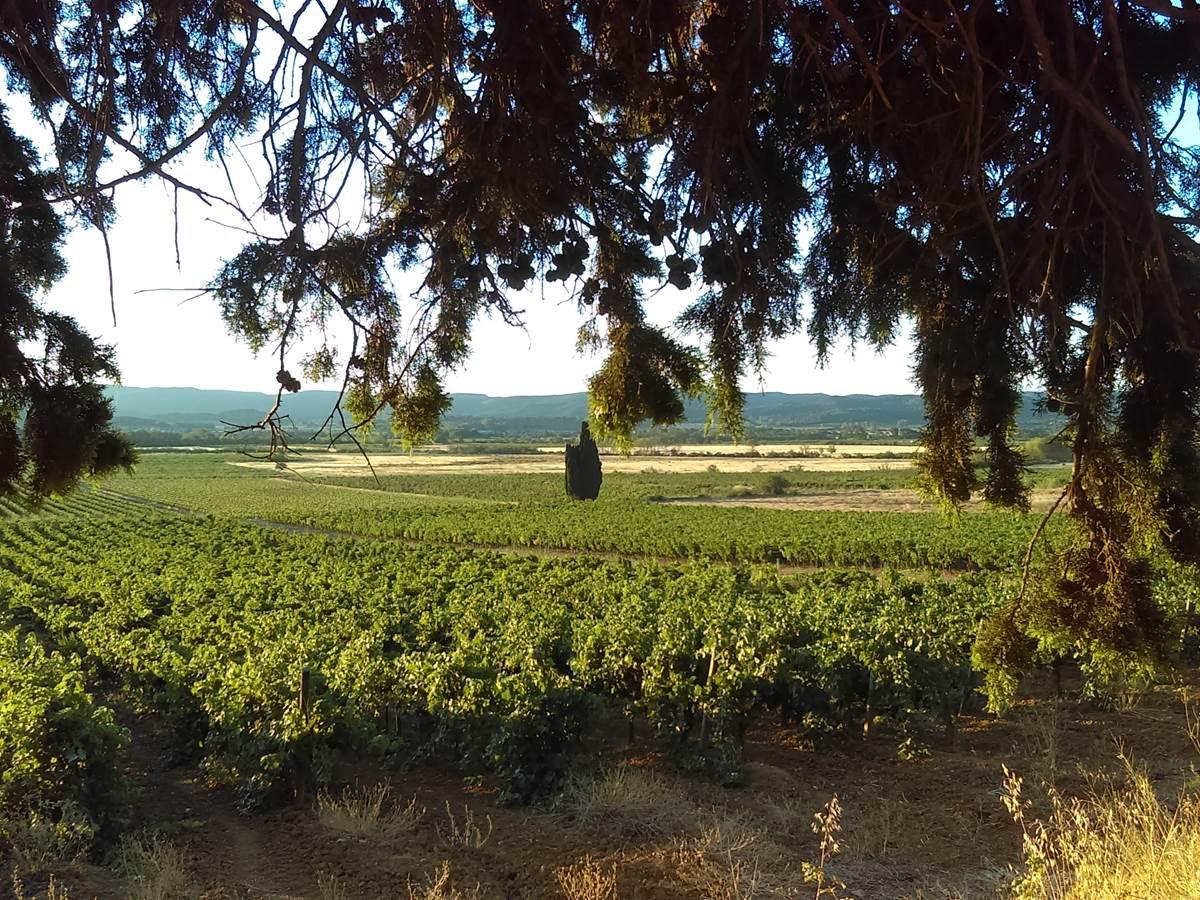 L'Eté la vigne sennivre du soleil. Domaine Conscience.