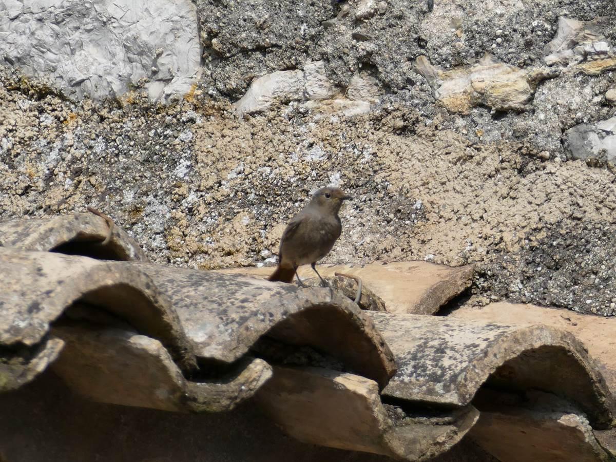 Un Rougequeue qui fait son nid dans le Patio