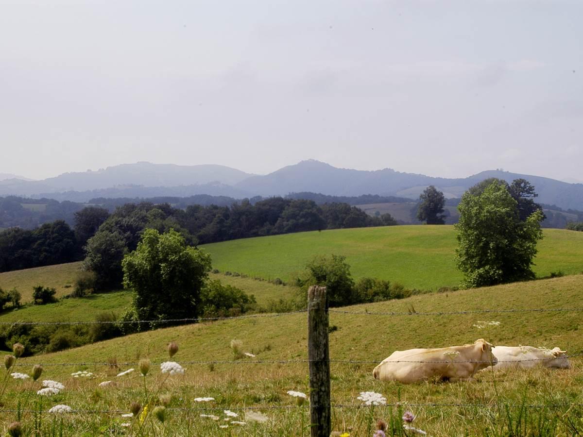 paysage+vache