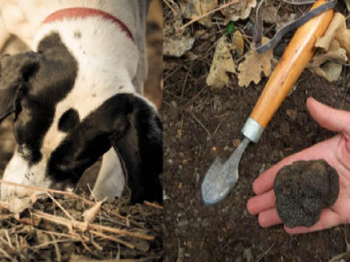 cavage-truffe-fraiche-noire-tuber-melanosporum-2