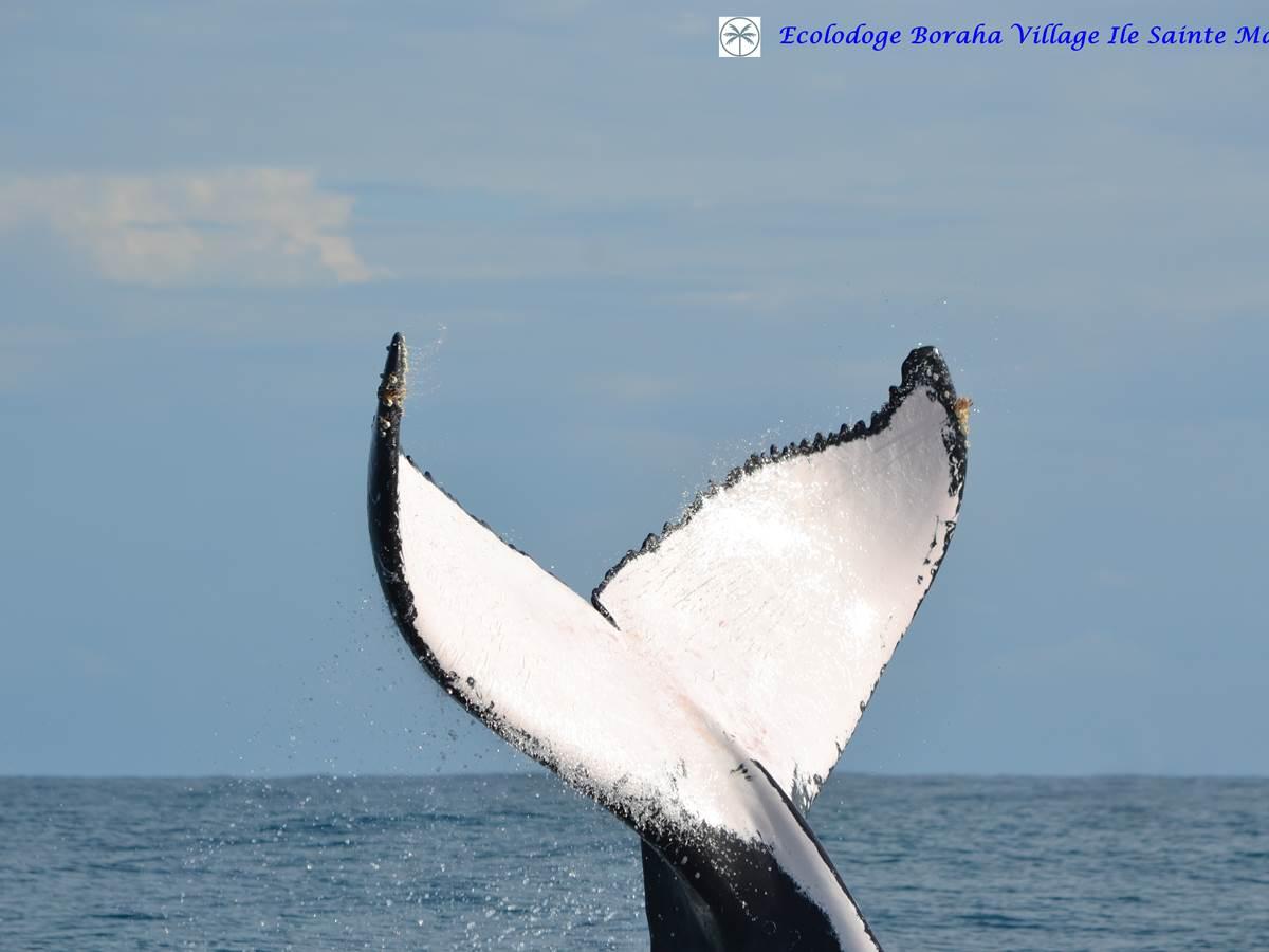 Baleine Boraha Village Ile Ste Marie Madagascar 32