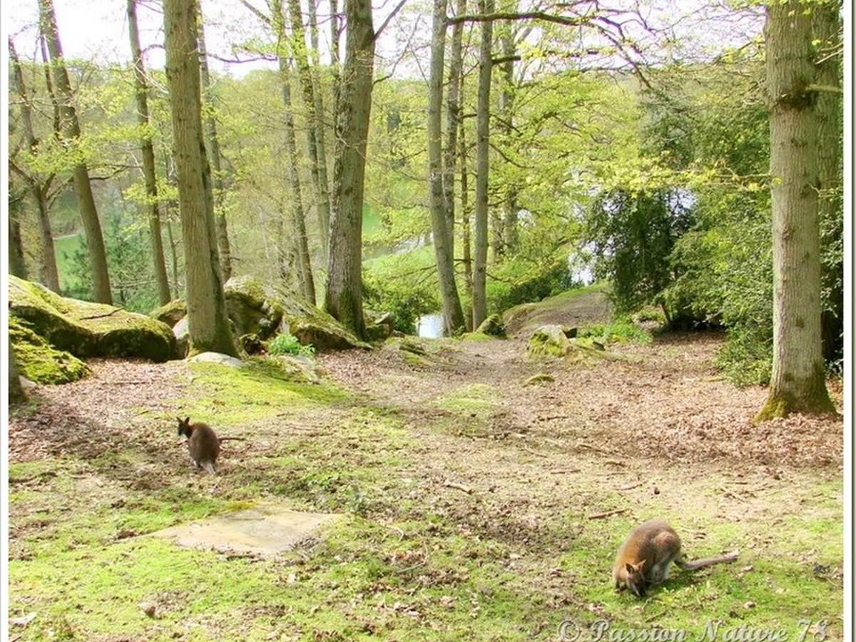 Des wallabies en liberté dans ma forêt de Rambouillet - Passion ...