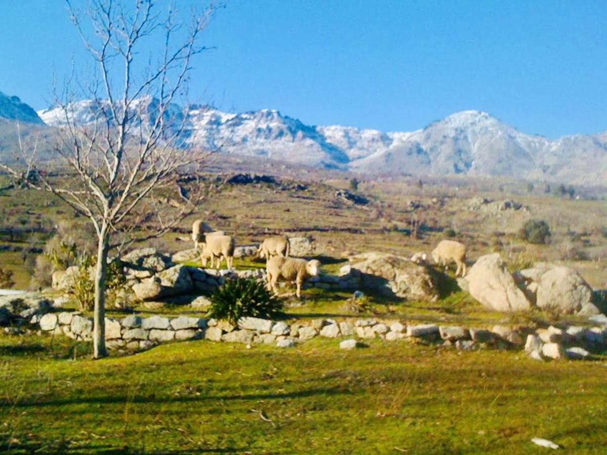 Moutons en liberté dans le camping  vue sur les montagnes (Monte Cintu...)