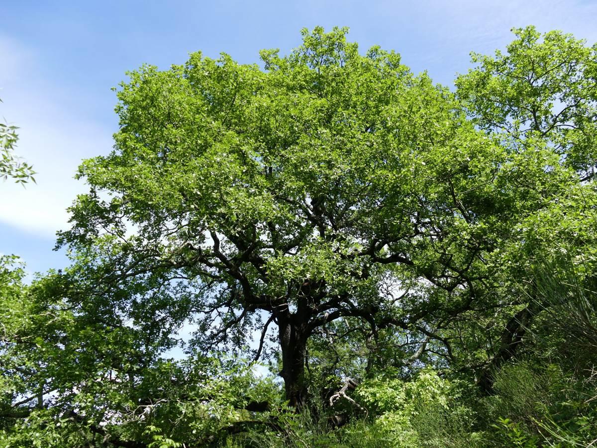 Magnifique arbre croisé lors d'une promenade vers l'Herault