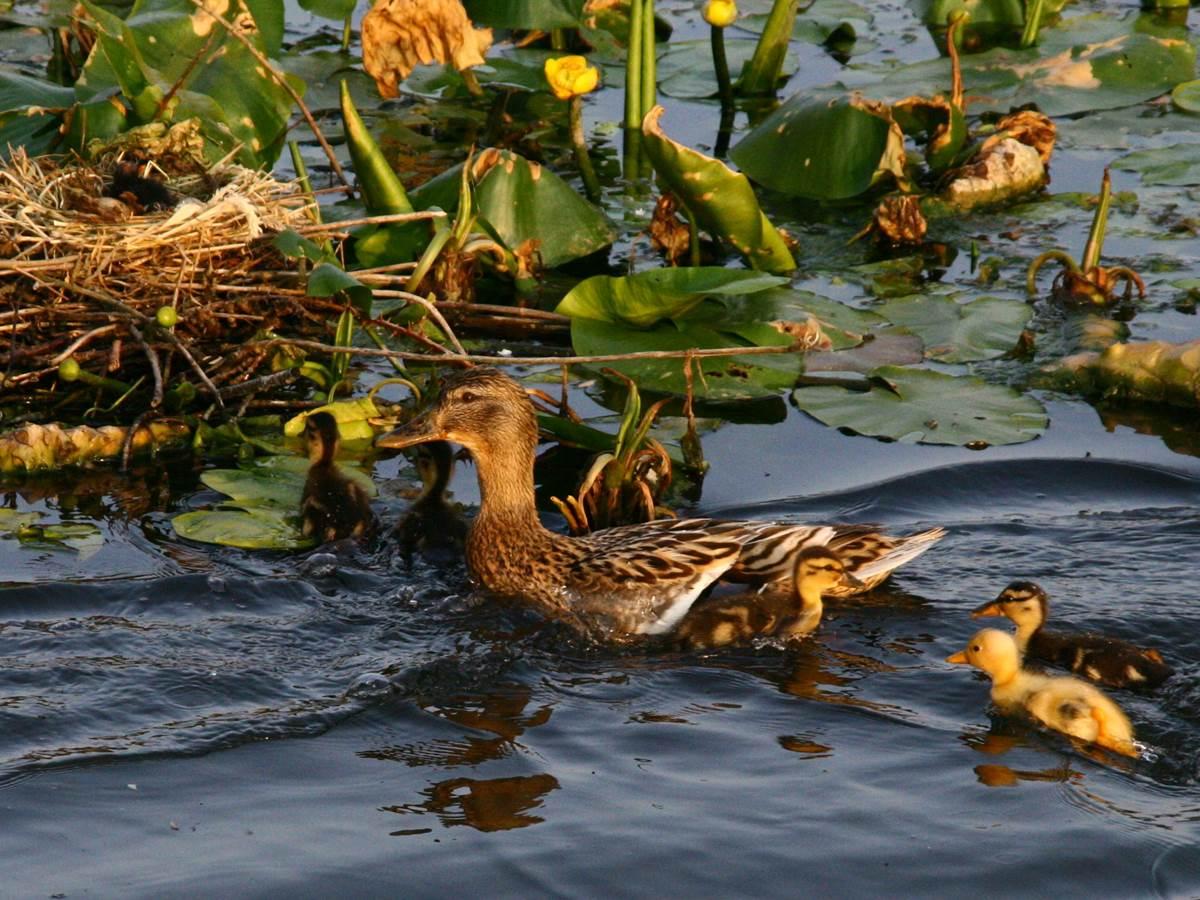 Etang à Vouilly  petits canards  et nid de poules d'eau