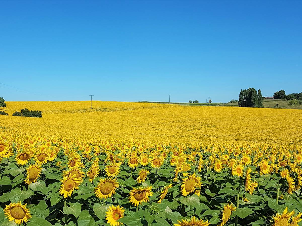 Sunflowers at L'Anglade