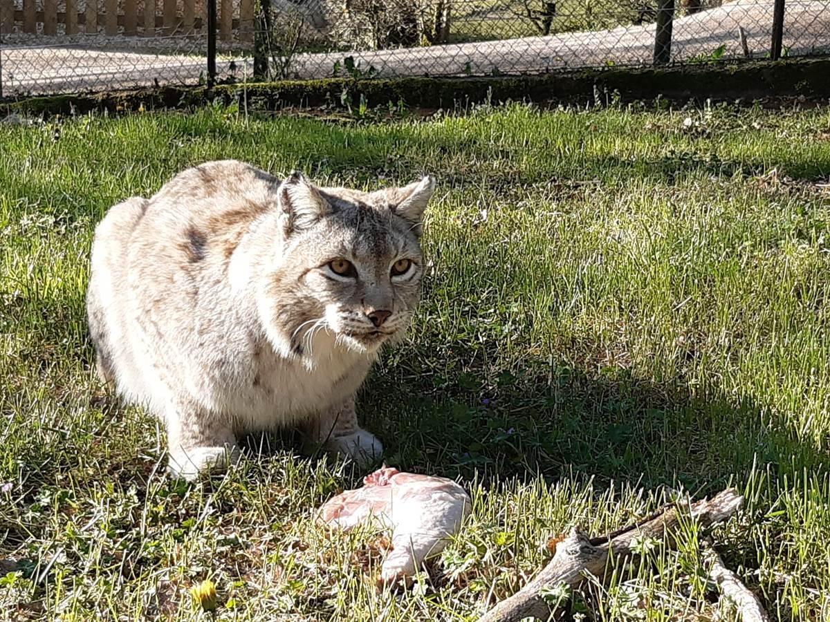 2020-lynx-pacha-tournee-carnivore