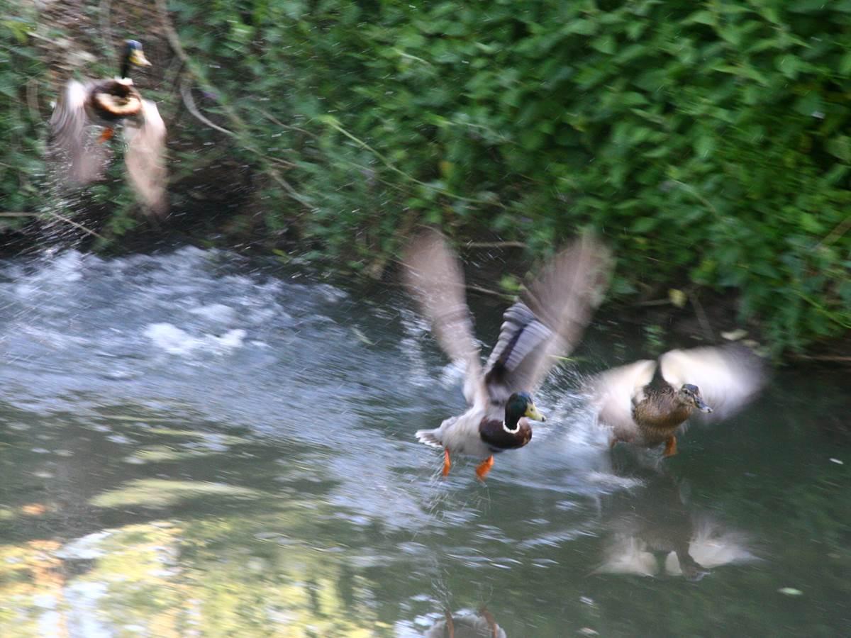 Les canards dans le canal de l'étang