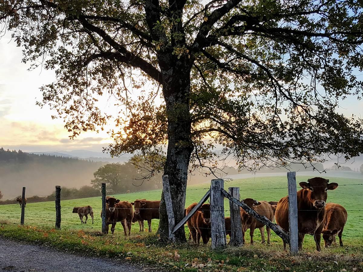 vaches curieuses et brumes d'automne Le Ranch des Lacs 87120
