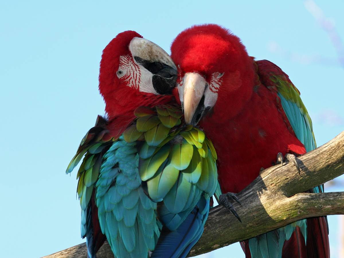 Ara Cholopt+¿re du Parc des oiseaux