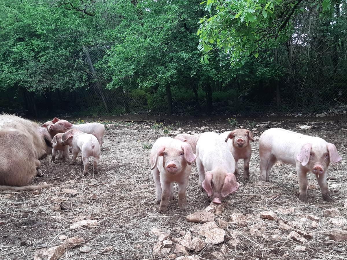 2020-conservatoire-porcin