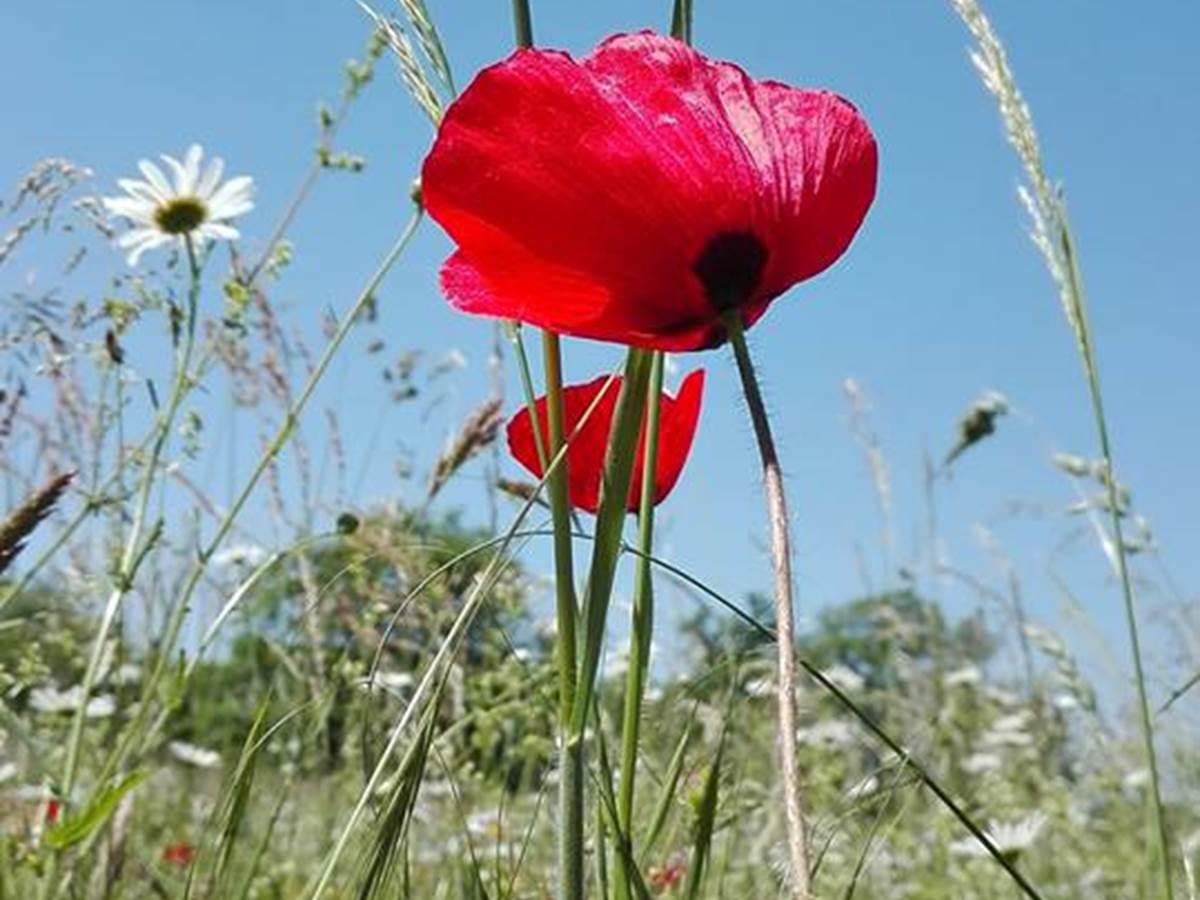 coquelicot, ma fleur préférée