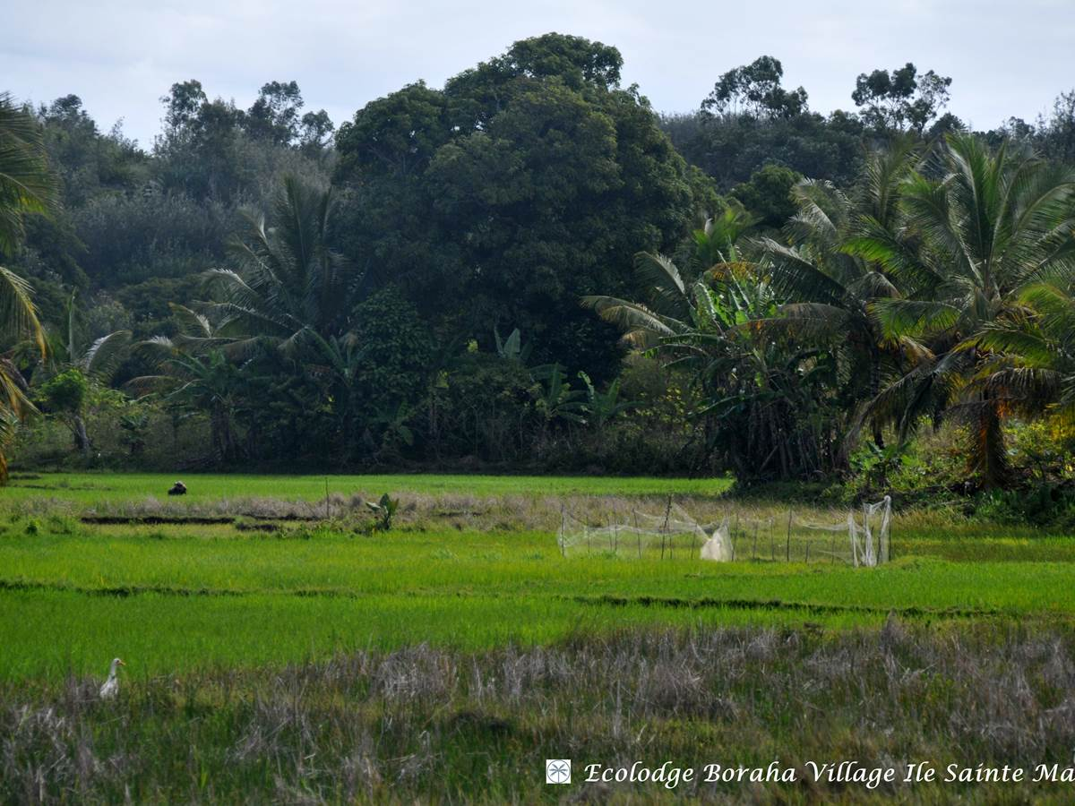 Rizières Ile Ste Marie Madagascar 01
