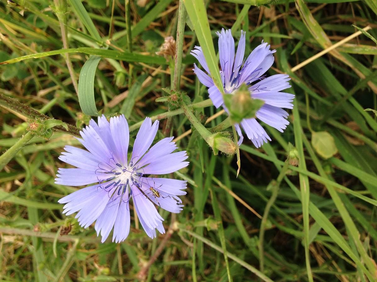 Fleur bleue et insecte