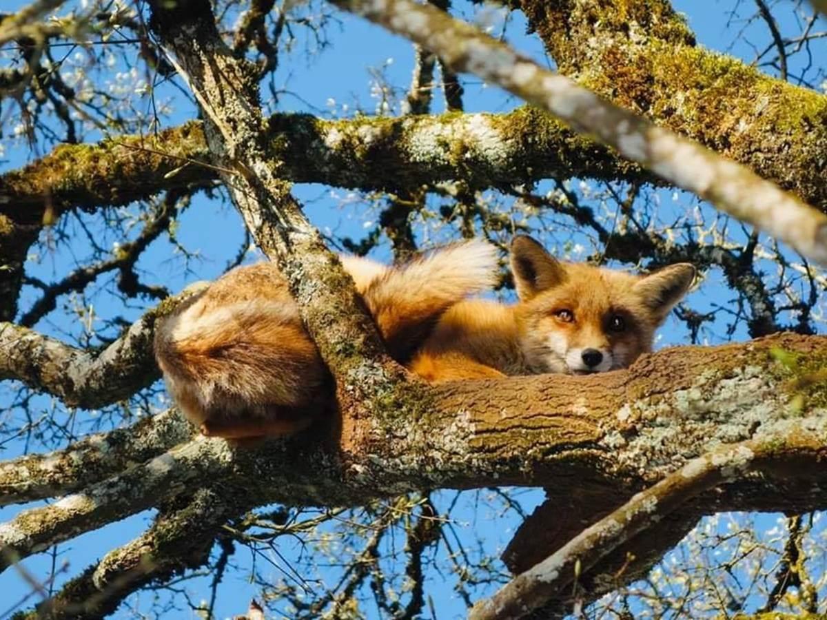 2020-renard-arbre-parc-animalier-gramat