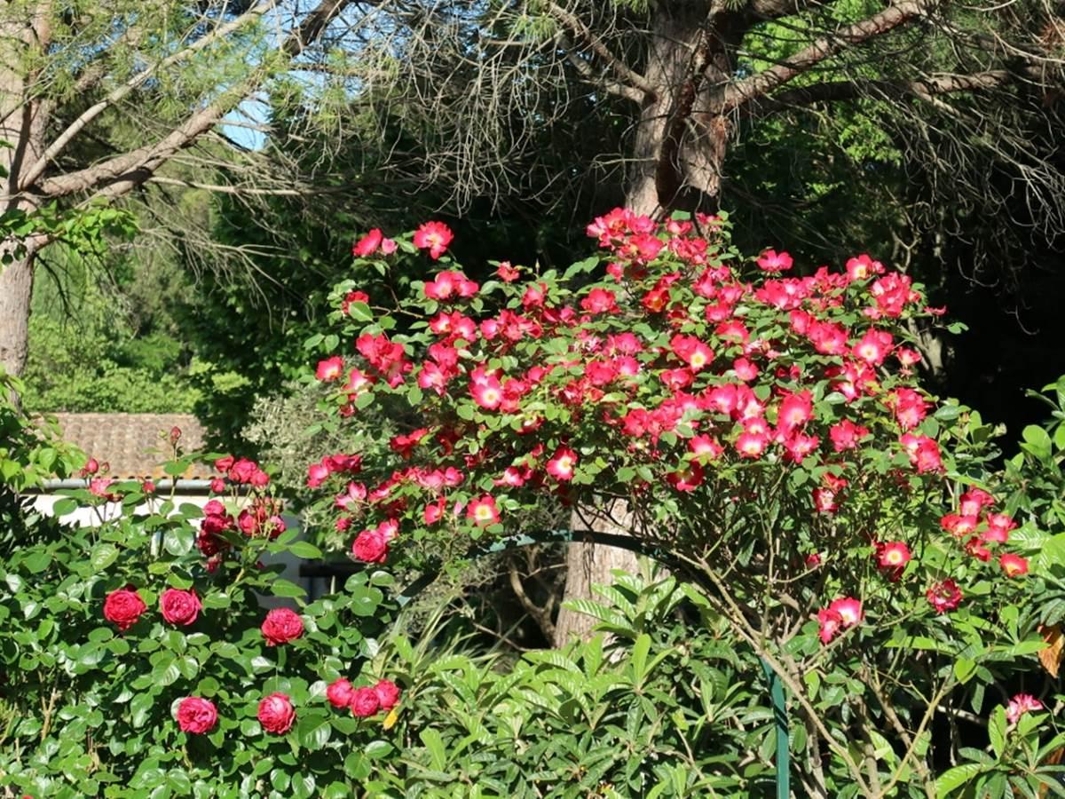 Les rosiers de la piscine