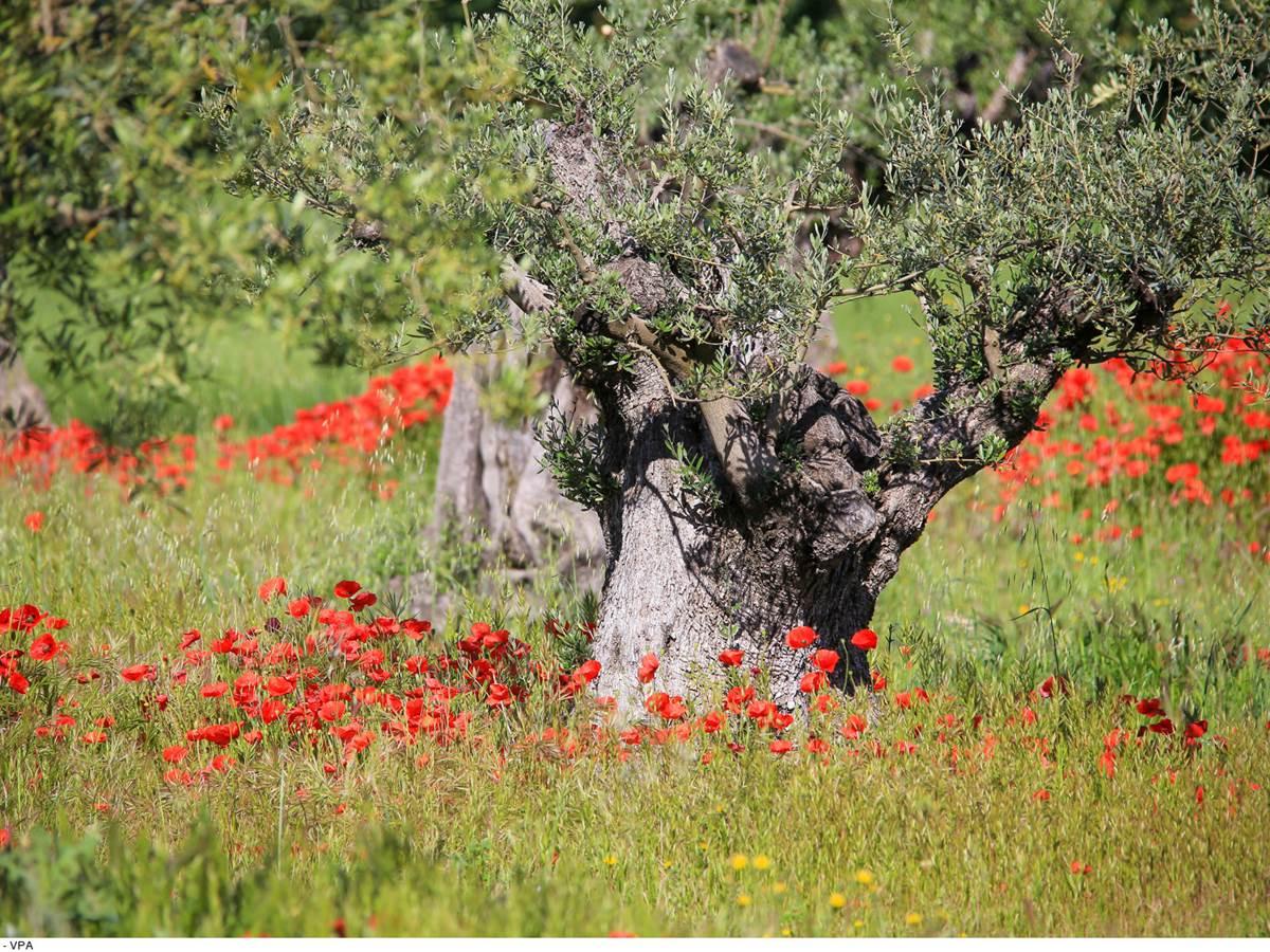 Coquelicot au pied olivier. Copyright.14257--HOCQUEL_A_-_VPA-1600px