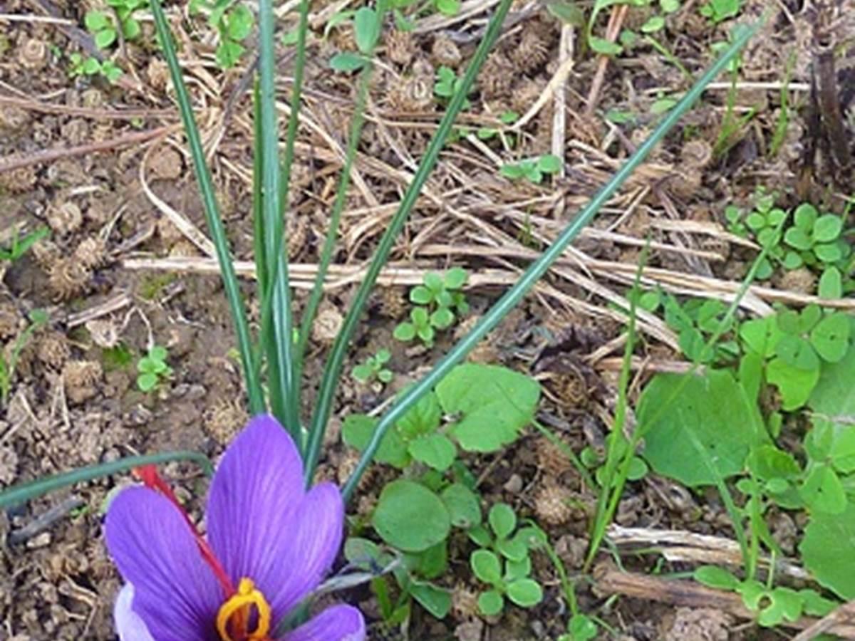 Fleur de Croqus Sativus - Safran © Lot Tourisme - A