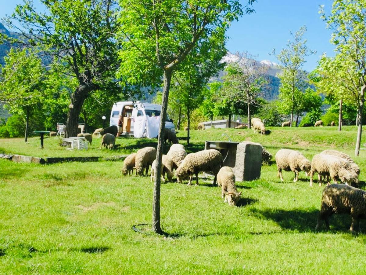 Moutons en liberté dans le camping à la ferme