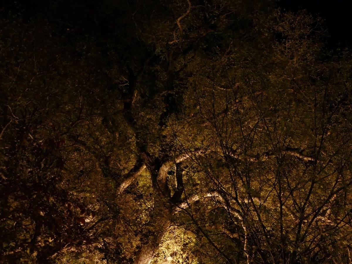 Micocoulier vu de nuit