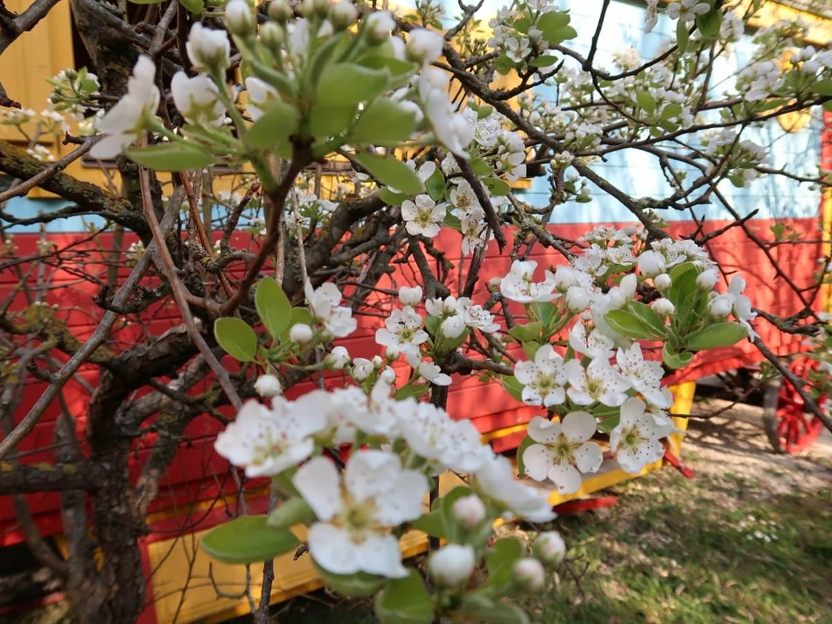 fruitiers en fleurs à la roulotte