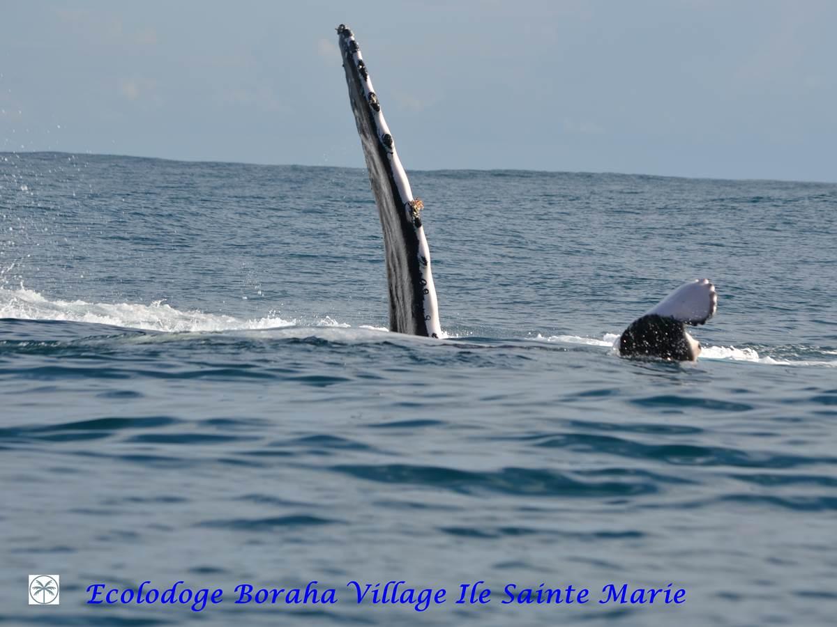 Baleine Boraha VIllage Ile Ste Marie Madagascar 26
