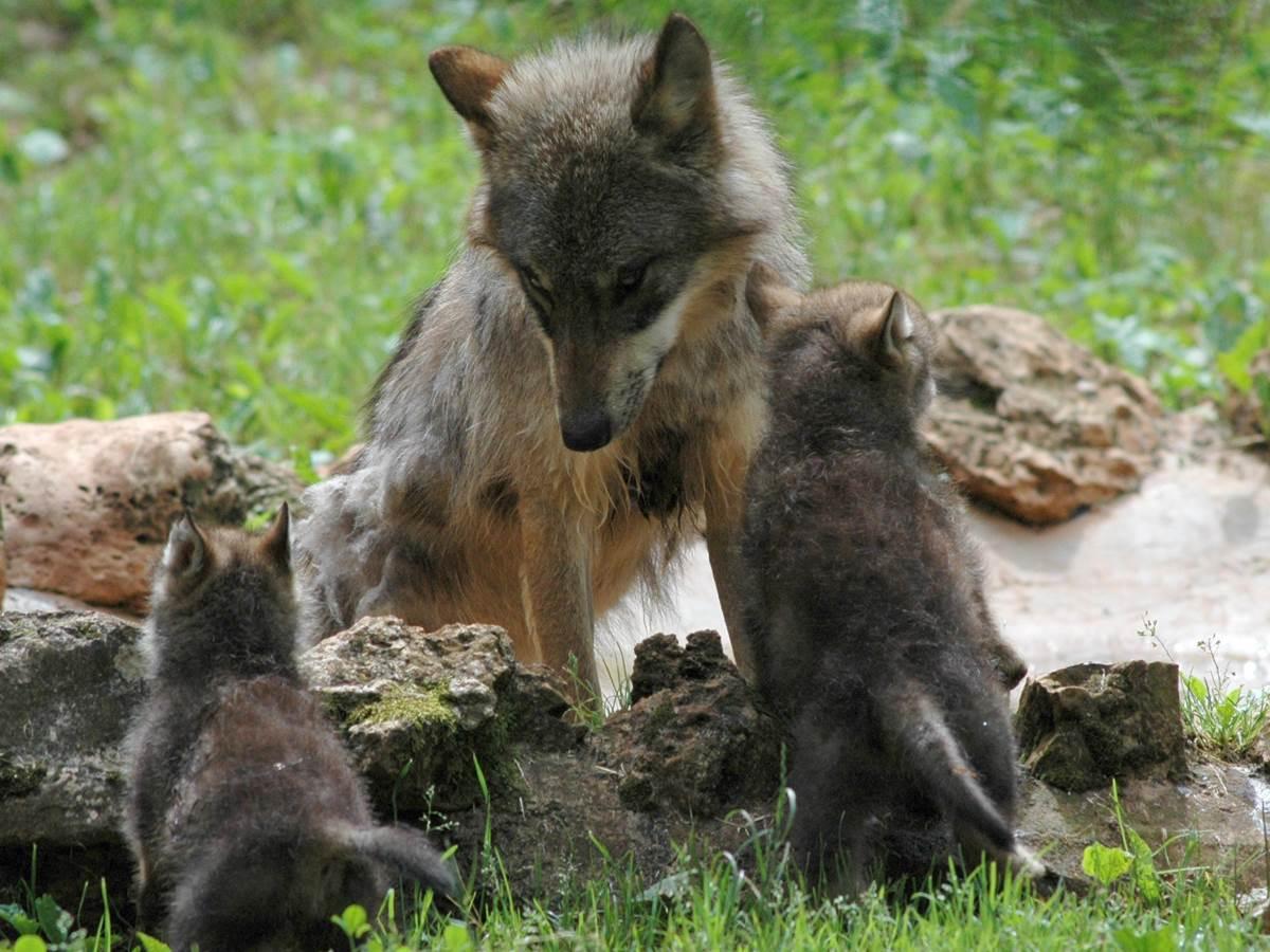 Parc Animalier de Gramat - Loups