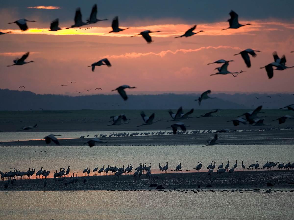 Lac du Der envol de grues - pascal Bourguignon Coll OT Lac du Der