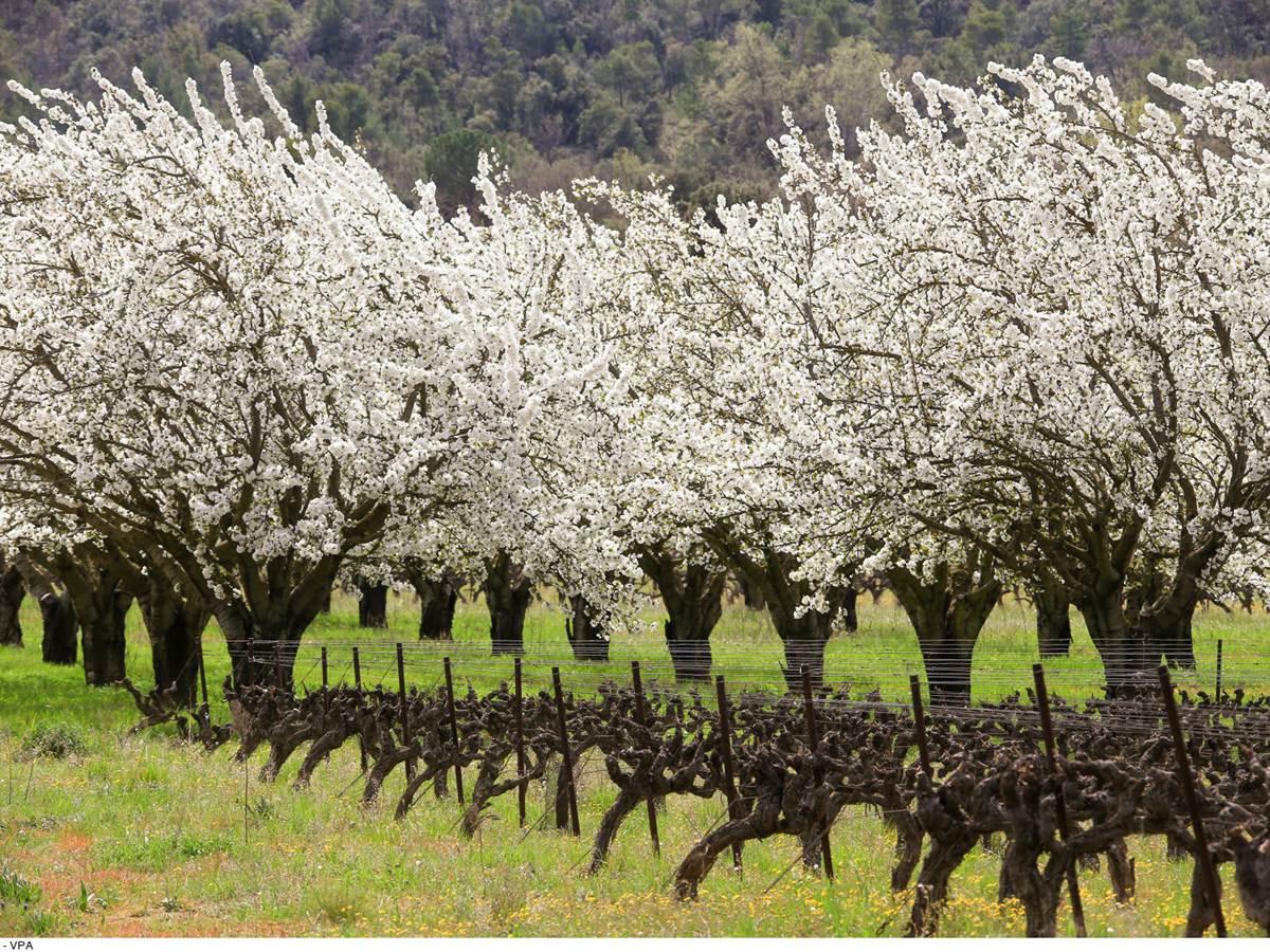 Cerisiers en fleurs et vigne. Copyright  Hocquel A-VPA
