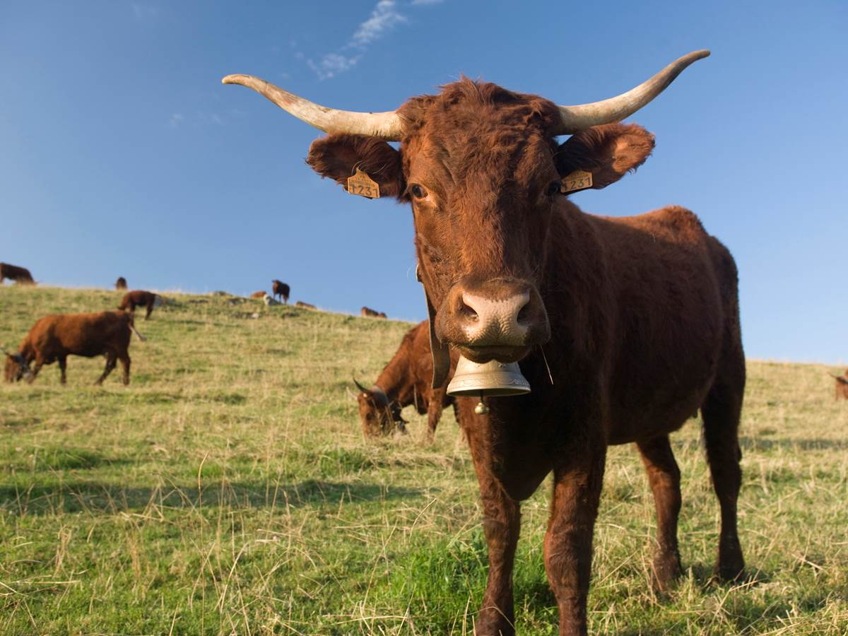 cantal+vache Salers/552770157