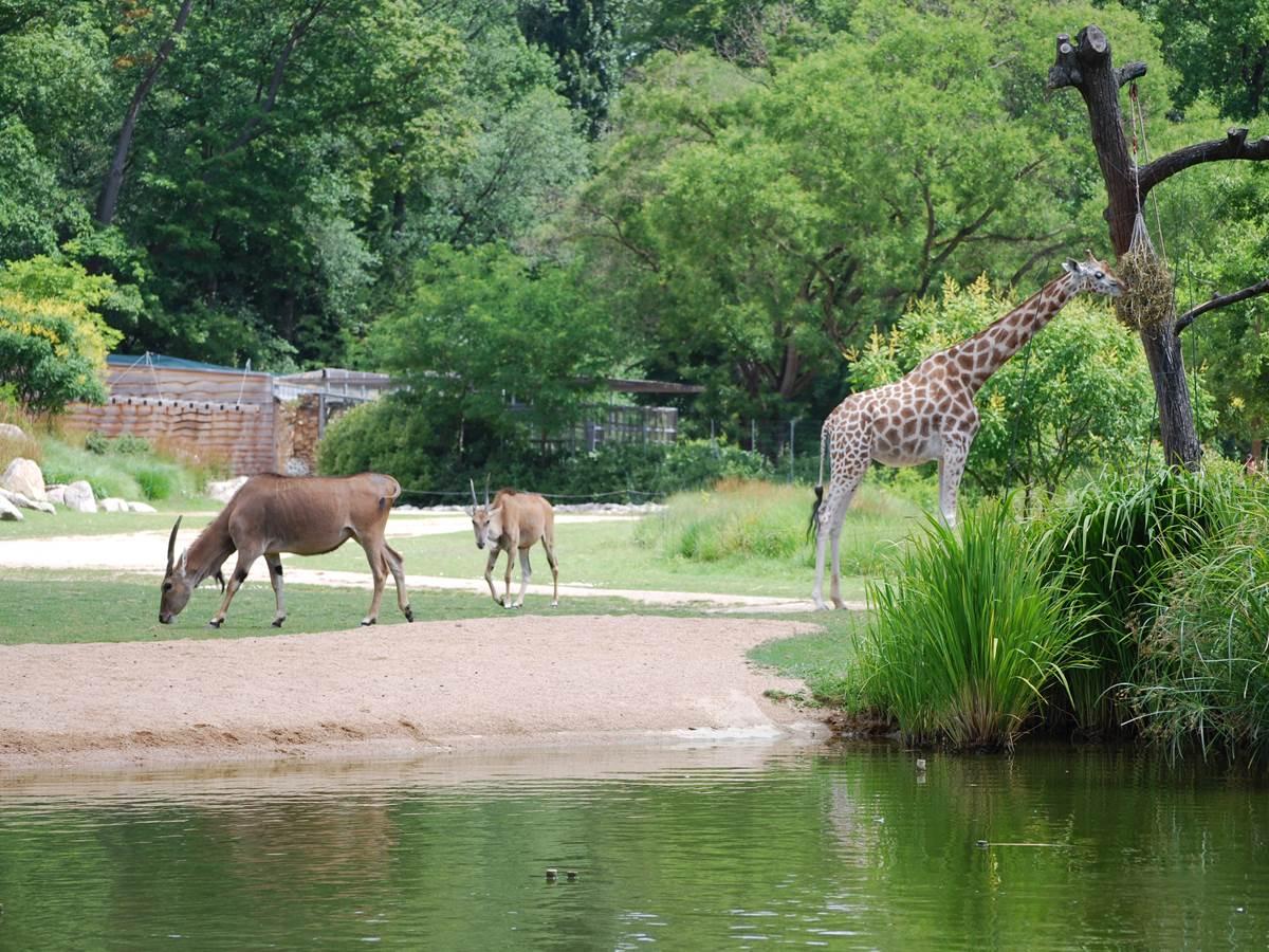 Parc de la tête d'or Girafes
