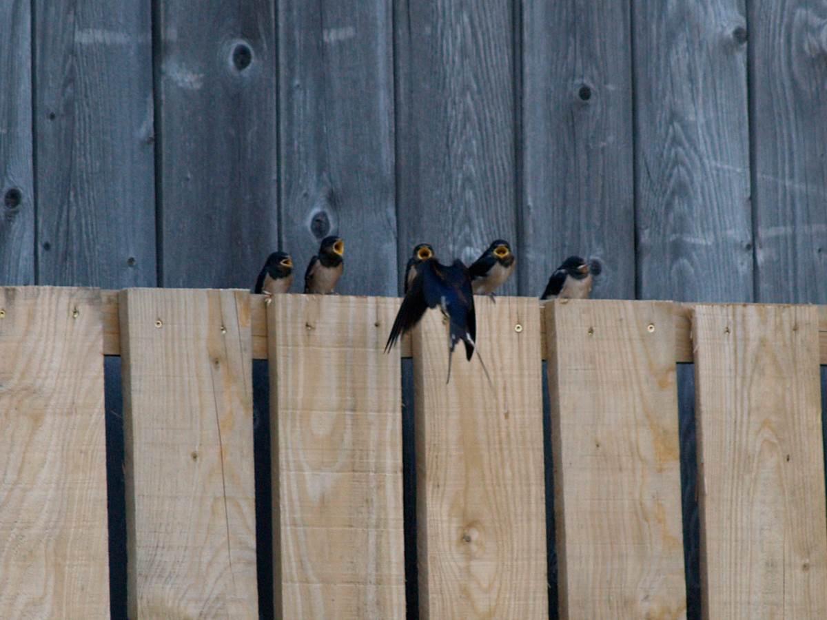 Aux chants d'oiseaux Les Hirondelles