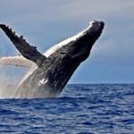 baleine à bosse-whale-saut 3-breaching-les villas de sainte marie