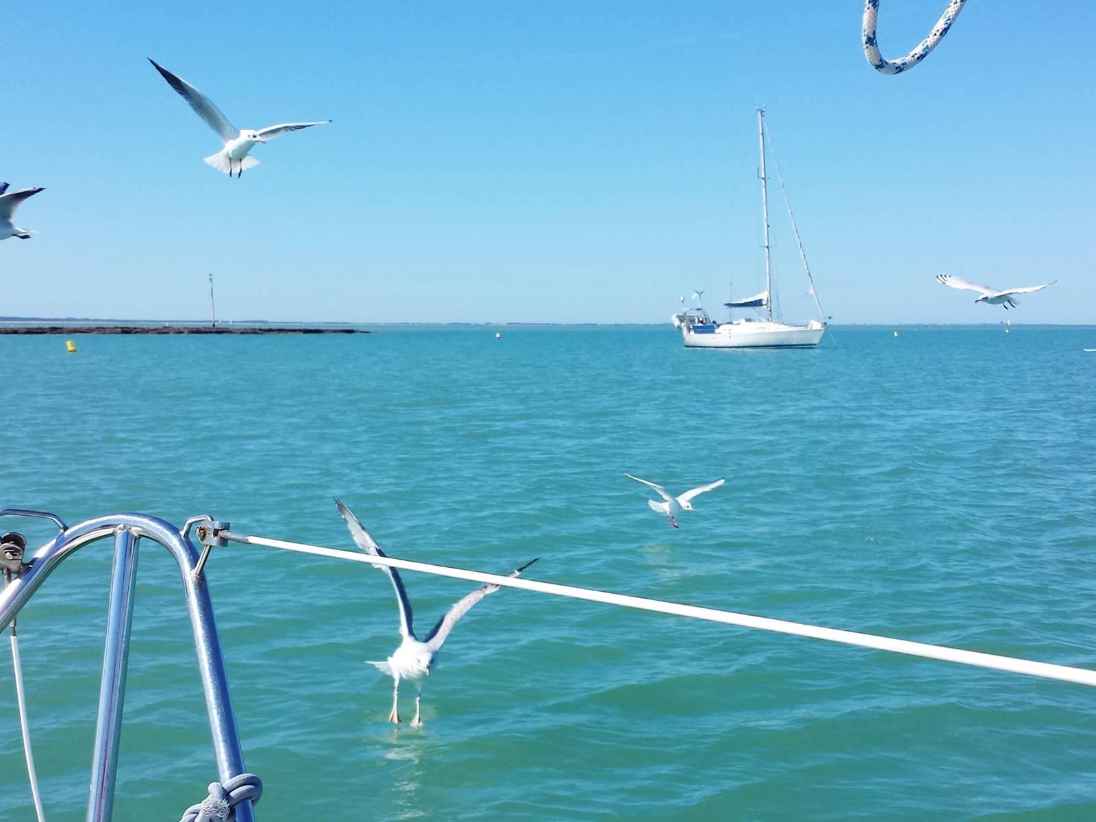 vols de mouettes près du voilier