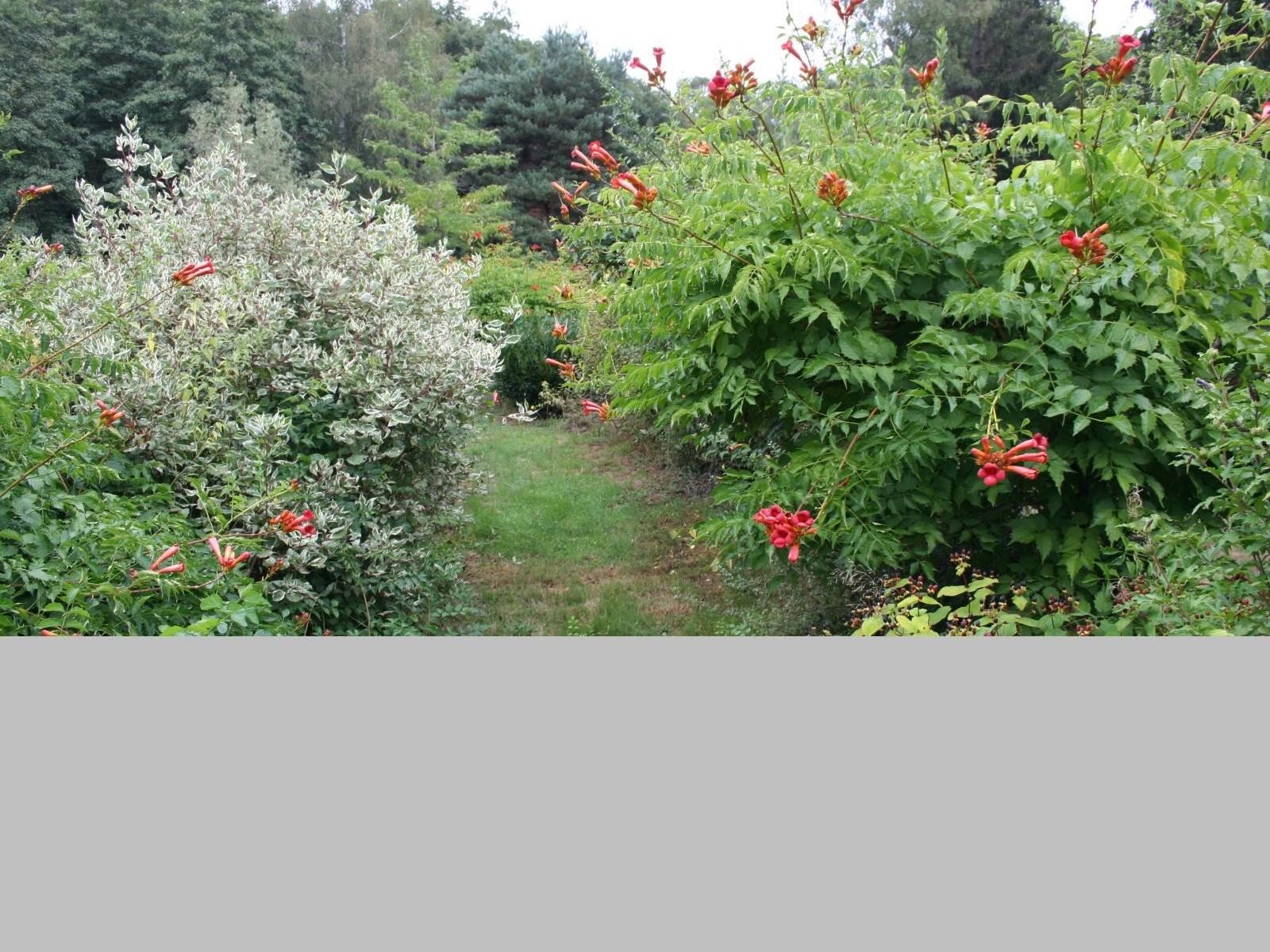 Le jardin d'agrément, bignone en pleine floraison
