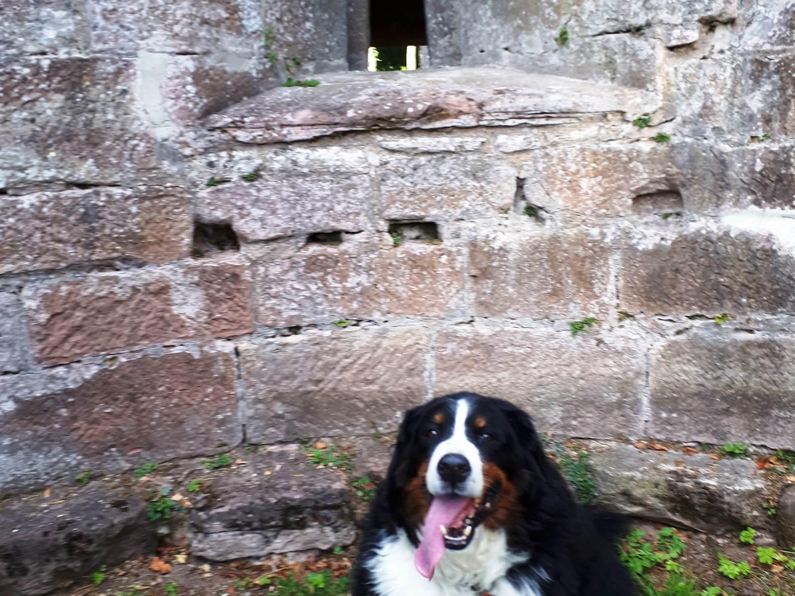 Cheyenne notre Bouvier Bernois au Château